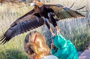 Орел едва не утащил мальчика в Австралии