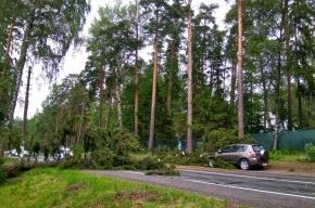 Сильный ветер валит деревья на дороги в Петербурге