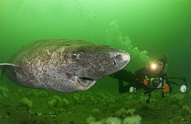 Ученые выяснили, что гренландские акулы живут по 500 лет и дольше