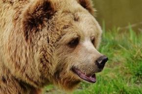 Медведь бродит на трассах рядом с Никольским