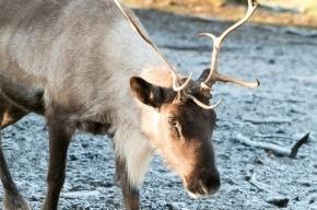 Молния убила 323 северных оленя в Норвегии