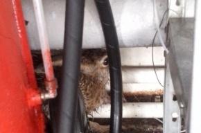 Раненный заяц забежал в автомойку в Оккервиле