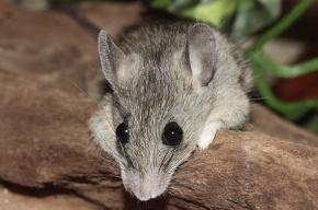 Немецкие ученые создали прозрачных мышей