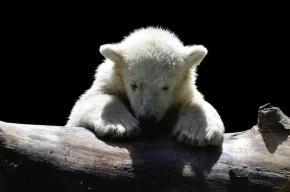 Одинокого белого медвежонка нашли на Чукотке