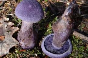 Редкий фиолетовый гриб нашли в Московской области
