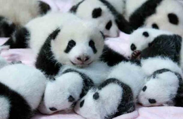 Большие панды перестали быть исчезающим видом животных