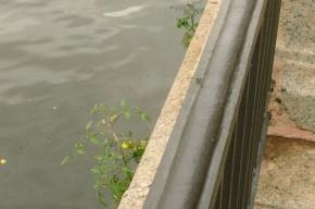 Помидоры выросли из камня на набережной реки Фонтанки