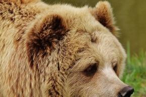 Медведь задрал геолога в Якутии