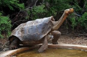 Одержимый сексом самец галапагосской черепахи спас свой вид от вымирания
