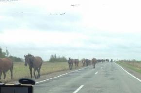 Бесхозный табун лошадей бегает по Ропшинскому шоссе