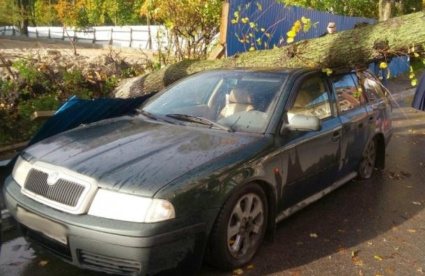 Дерево раздавило иномарку в Шлиссельбурге