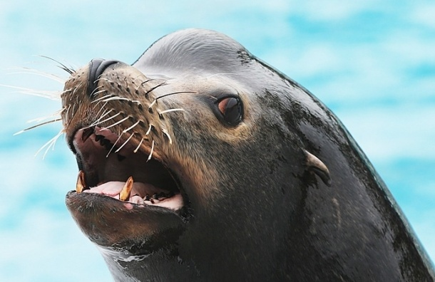 СМИ: Сотрудник Приморского океанариума забил молотком морского льва