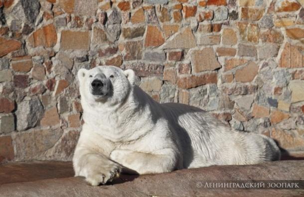 ВЛенинградском зоопарке скончался старый белый медведь по прозванию Меньшиков