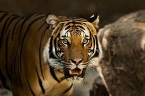 Бродячего тигра ищут во Владивостоке