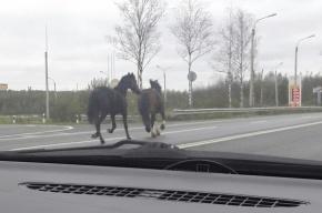 Несоблюдающие ПДД лошади бегают на трассе у Тосно