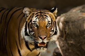 Анна Савельевна в Приморье родила тигренка