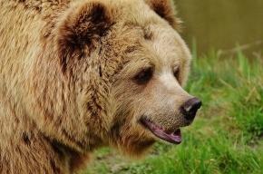 Медведь «столкнул» две машины в Приамурье