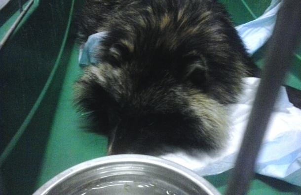 Попавшую под машину енотовидную собаку спасают ветеринары Петербурга