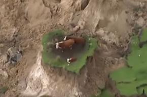 Три коровы выжили после разрушительного землетрясения в Новой Зеландии