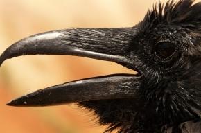 Ворона в Приморье «помогла» приставу найти на кладбище должницу