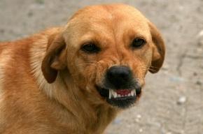 Хозяек собак, покусавших девочку на Культуры, арестовали