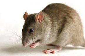 Большую крысу нашли в карцере одного из СИЗО Петербурга