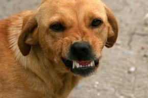 Обыск прошел в квартире хозяек собак, покусавших на Культуры девочку