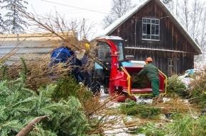 Петербуржцам расскажут про утилизацию новогодних елок