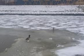 Петербуржец провалился под лед, спасая утку из воды