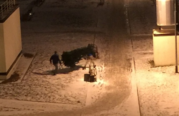 Стоящую на улице новогоднюю ель украли у жителей одного из домов в Шушарах