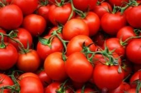 Южноамериканская моль «приплыла» в Петербург в партии томатов из Марокко