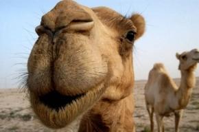 Ученые нашли лекарство от рака в крови верблюдов