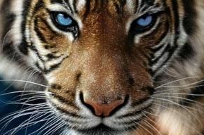 Тигрица, сбежавшая из Ленинградского зоопарка, очнулась после наркоза