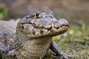 Крокодила в Пензе выбросили на мороз, рептилия скончалась