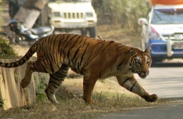 Тигр сбежал из Ленинградского зоопарка