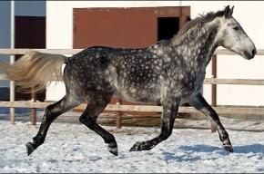 Коня в яблоках похитили в Ленобласти