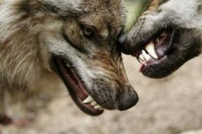 Охотники устроили облаву на волков в Кировском районе Ленобласти