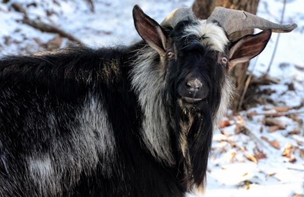 Коза Меркель родила козленка откозла Тимура— Приморский сафари-парк