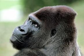 Грабитель-горилла вынес смартфоны из салона на Обводном