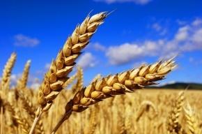 Дефицит качественной пшеницы для хлеба возник в России