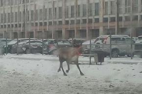 ГИБДД устроила погоню за оленем