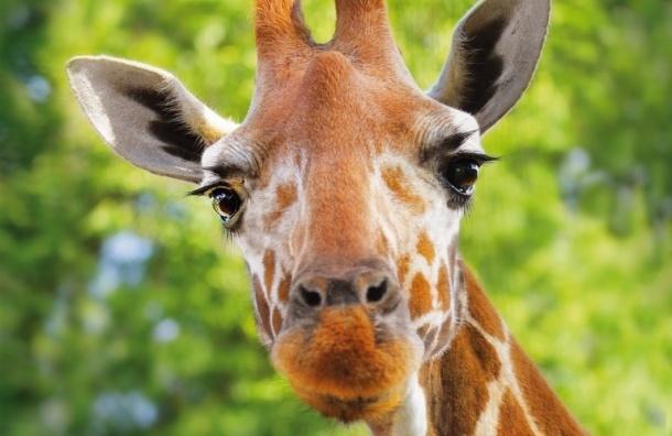 ВЛенинградском зоопарке скончался самый старый жираф изживущих вневоле