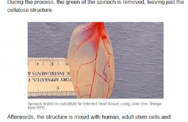 Ученые вырастили «веганское» сердце из шпината
