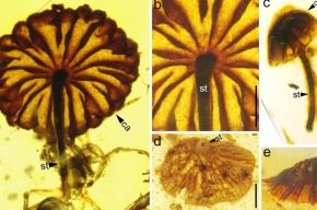 Мухоморы в янтаре заставили ученых обновить знания о грибах