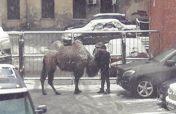 «Ничего странного»: наулице вПетербурге «припарковали» верблюда