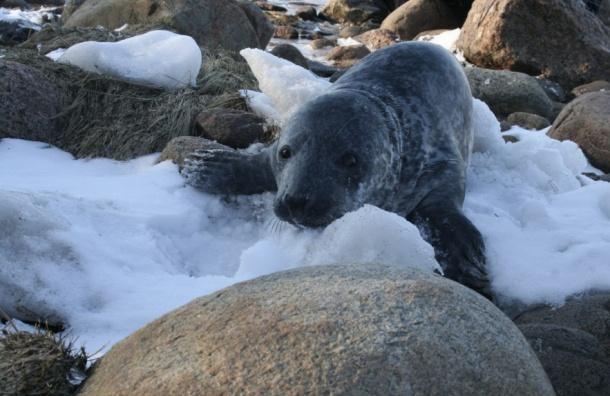 Тюленёнка спасли вФинском заливе
