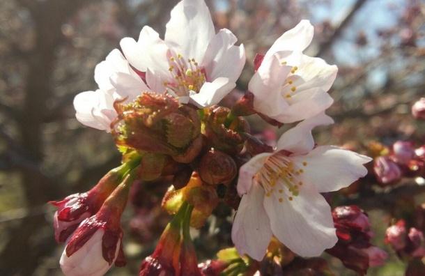 Сакура расцвела в Ботаническом саду Петербурга