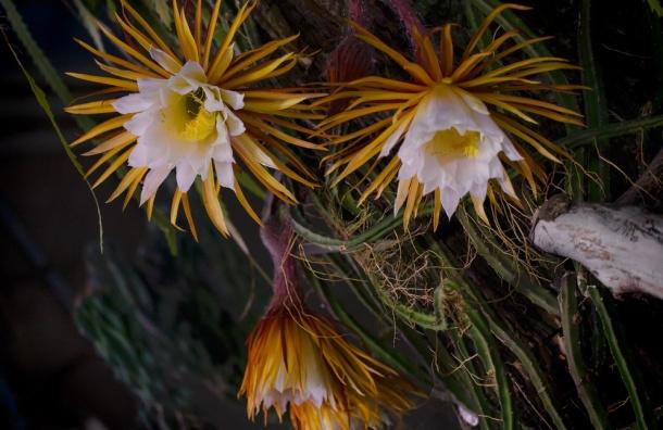 «Сестра» Царицы ночи зацветет в выходные в Ботаническом саду
