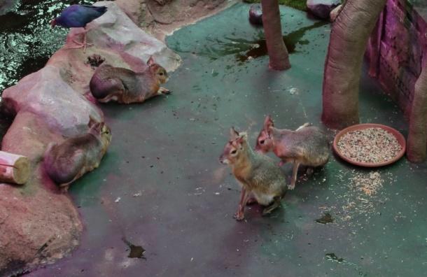 Патагонские зайцы переселились из ТЦ в Петербурге в Калининградскую область