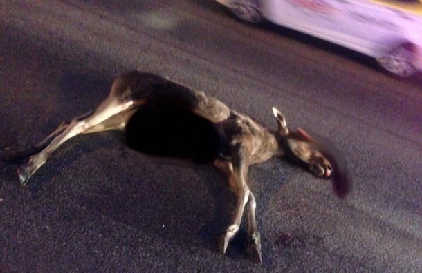 Водитель иномарки сбил лося в черте города